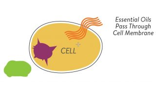 Essential Oils can pass through the cell membrane
