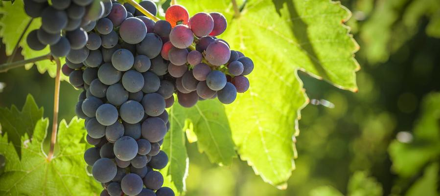 Resveratrol comes from the skins of grapes